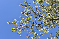 Spring in Pittsford, New York (dr_marvel) Tags: rochester ny pittsford flowers tree blue bluesky sky clear spring floweringtree erie eriecanal