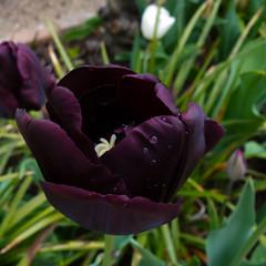 Tulip, New Place, Stratford (Dave_A_2007) Tags: flower nature plant tulip stratforduponavon warwickshire england