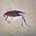 Insect fossil (Santana Formation, Lower Cretaceous; northeastern Brazil) 4