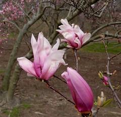 Let it be (gomosh2) Tags: magnolias pinkflowers floweringtrees