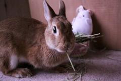 Ichigo san 673 (Ichigo Miyama) Tags: いちごさん。うさぎ ichigo san rabbit bunny netherlanddwarf brown ネザーランドドワーフ ペット いちご うさぎ