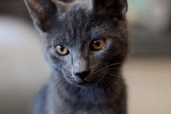 Melvin (Goodbye~Kiss) Tags: cat gatto animale animal portrait ritratto occhi eyes mao