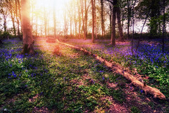 The fallen... (Kerriemeister) Tags: fallen tree bluebells bluebell sunshine hagg wood trees carpet magical flowers dunnington nature