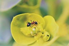 busy ant... (martinap.1) Tags: ameise ant nikon d3300 macro makro 40mm insekt insect 7dwf