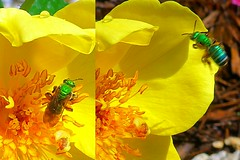 Yellow and Green   --   L1060261b[1] (mshnaya ☺) Tags: house fly yellow rose rosa flora nature wildlife outdoor lemon fizz florida flickr photo picture compact point shoot stilllife leica leicac insect flh