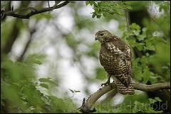 red-tailed hawk (Christian Hunold) Tags: redtailedhawk redtail hawk immatureredtail buteojamaicensis birdofprey raptor bird rotschwanzbussard johnheinznwr philadelphia christianhunold