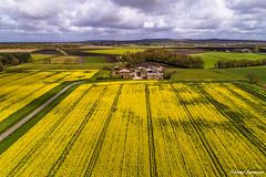 Fields of Gold (sammys gallery) Tags: rapeseed farm farmland farming countryside aerial dronecamera sthelens rainford bickerstaffe england unitedkingdom gb