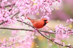 Redbud (Salamanderdance) Tags: redbud cardinal red bud nature flower flowering tree bird pink eastern northern