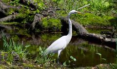 Great Egret (Black Hound) Tags: sony a500 minolta greategret bombayhooknwr bird finnispool