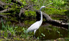 Great Egret (Black Hound) Tags: sony a500 minolta greategret bombayhooknwr bird finnispool
