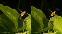 P5187423 (fotoopa) Tags: macro inflight objects insects thuis highspeed flyinginsects highspeedflash insectsinflight strobic highspeedcapture highspeedmacro fotoopa inflightinsects lasercontrol vliegendeinsecten lasercamera ttlflashcontrol flyinghighspeedinsects highspeedlaserdetector irlaserdetection hardwareforinflightinsects diyinflightcapture diyflashsetup highspeedhardware multiplelaserdetection clpdhighspeedcontroller insectenfotografie vliegendebeestjes fotosvliegendeinsecten picturesinflightinsects olympusepl3 epl3lasersystem