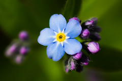 myosotis (iwanvh) Tags: flower color macro art nature fleur beautiful fleurs spring artist photographer photographie sweden swedish beaut van scandinavia makro printemps couleur iwan photographe hoogmoed iwanvh