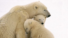 Wallpapers (vinhpz0) Tags: bear travel snow love parenthood animal animals mammal cub parents support affection wildlife mother nobody security arctic polarbear caring motherhood protection cuddling naturalworld tenderness offspring interaction comforting babyanimal younganimal nurturing groupofanimals smallgroupofanimals threeanimals adultanimal flickrandroidapp:filter=none