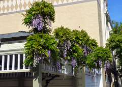 wisteria on 22nd street (nolehace) Tags: sanfrancisco street spring wisteria 413 22nd nolehace fz35