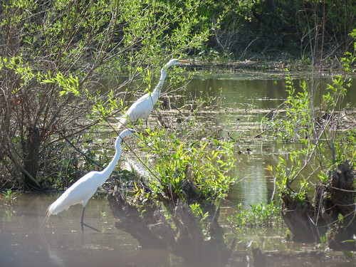 Great Egrets - Missouri by SpeedyJR
