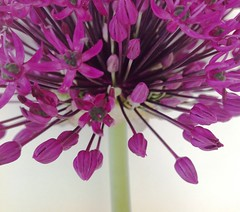 Allium (lindavin58) Tags: flower purple magenta bud mygarden allium