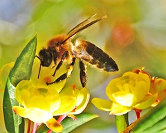 Bhutan Bee (jan lyall) Tags: flowers bhutan bee nectar