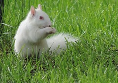 Albino Squirrel In My Yard (rabidscottsman) Tags: wild grass minnesota animal cool nikon squirrel eating wildlife odd squareformat albino albinosquirrel whitesquirrel coolpix neat thursday mn rare pinkeyes greengrass fav10 fav25 p520 scotthendersonphotography wildlifewednesday nikonp520