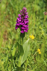 Northern Marsh Orchid (Munki Munki) Tags: orchid nature washington flora meadow conservation northeast purpleorchid northernmarshorchid washingtonwetlandcentre