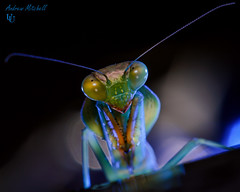 Take me to your leader (Andrew Mitchell_Unseen Universe) Tags: macro giant mantis photography praying mitch andrew shield mitchell universe malaysian prayingmantis unseen mantid macrophotography instar andrewmitchell basalis rhombodera giantmalaysianshieldmantis rhomboderabasalis unseenuniverse