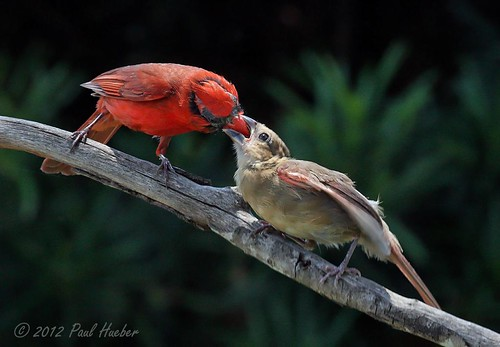 Male Northern Cardinal feeding his young (Cardinalis cardinalis)