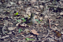 Finch | 3 (Leotorda) Tags: parco milan female milano finch castello chaffinch legnano femmina fringuello