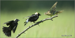 Three's a crowd Bob (Earl Reinink) Tags: ontario canada art nature photography nikon flickr photographer image bob images earl flikr d4 art bobolink nikon photography images nature lens ontario canada ontbirds fine earl photographer lenses reinink reinink d4 niagara 201306173085
