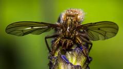 365.175 - Bug Eye (Tim Stubbs) Tags: macro nature bug lavender olympus 365 e30 day175 2013 week26theme sigma105mmf28exdgmacrofourthirds 365175 3652013 25jun13
