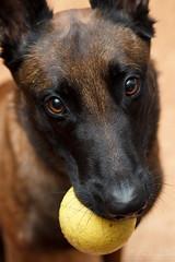 Play with me, pleeease! (Neferkheperure) Tags: portrait dog cute male ball play looking head belgian sheperd malionis