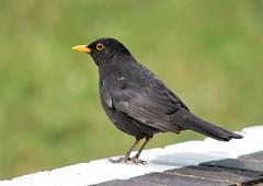Black Bird (mpw1421) Tags: birds nikon platform essex blackbird rayne d60 rspb