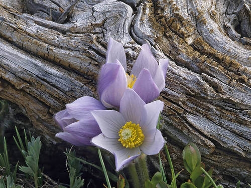 Photo - Pasque flowers in early spring.