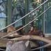 orangutan - toronto zoo - 10