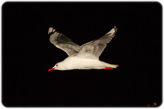 Silver Gull (Chroicocephalus novaehollandiae) following the Manly Ferry at Night (Craig Jewell Photography) Tags: ferry night iso3200 boat flying seagull flight australia f90 nsw newsouthwales 135 manlyferry birdinflight silvergull 2013 0ev australiansilvergull ef135mmf2lusm chroicocephalusnovaehollandiae sec canoneos1dmarkiv filename20130810181956x0k0390cr2