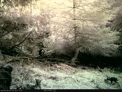 Roe Deer (NatureSpyuk) Tags: deer roedeer cameratrap