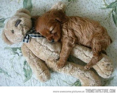 Dog and teddy bear (Dona Minúcia) Tags: sleeping dog cute art love puppy toy brinquedo peace arte paz fofo tenderness dormindo urso gracinha teadybear cãocachorro