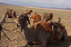 Camels - Omnogovi, Mongolia (Myriam Bardino) Tags: mountains sand desert mongolia sands camels els gobi journeys nomadic khongoryn gurvan dromedaries saikhan omnogovi nomadicjourneys hongor khongorynelsthesingingdunes