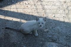 Nico. (Nekochin) Tags: street cute beautiful animal animals cat photography photo eyes kitten feline pretty little adorable kitty gato felino neko fotografa