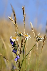 Fiori di campo (luporosso) Tags: flowers summer naturaleza flower nature colors nikon estate wildlife flor natura fiori colori naturalmente nikond300s