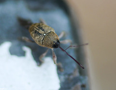 Curculio glandium (wpt1967) Tags: macro bug makro käfer canon50mmmacro rüsselkäfer curculioglandium eichelbohrer