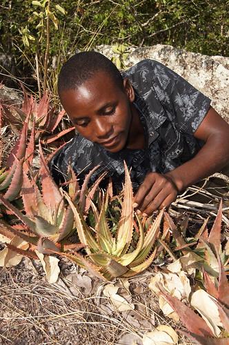 obety com aloe chabaudii no Mocuba zambezia