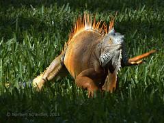 Ctenosaura similis (norbesc) Tags: iguana elsalvador garrobo