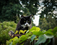 Lucy (hehaden) Tags: blackandwhite cat fence garden kitty ivy tuxedo balancing semilonghair