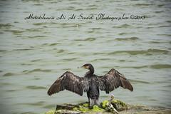 Cormorant   (Abdulrhman Ali Al Sanidi) Tags: nature lens ed nikon zoom wildlife birding arabia stare cormorant nikkor vr afs brid dx doublecrested  f3556    18105mm d7100   alqassim