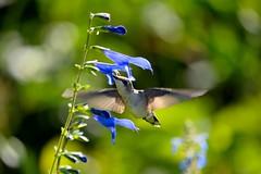 Hummingbird Bokeh (DigitalCanvas72) Tags: nature outdoors nikon birdsinflight dslr baitinghollowhummingbirdsanctuary hummingbirdsanctuary nikond3100 nikkor55300mmvrdx baitinghollowlongislandny