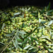 2013 Jordan Olive Harvest 010