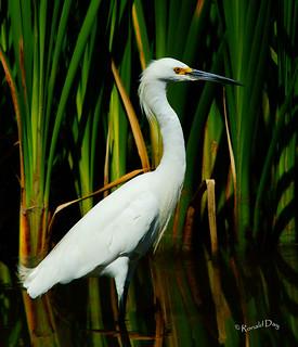 ~Snowy Egret Portrait~