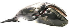 RIGHT WHALE REPLICA (arditomc) Tags: shark whale rightwhale giantsquid spermwhale bluewhale rightwhalereplica spermwhalereplica