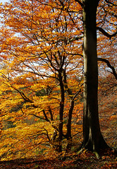 Gold In The Woods (3) (neilh156) Tags: autumn trees leaves gold woods bradford autumncolours judywoods wyke autumngold