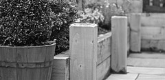 OUR GARDEN (simongavin83) Tags: wood blackandwhite plants garden wooden post planters landscaping row structure strong posts beams sturdy sleepers odc raisedbeds ourdailychallenge
