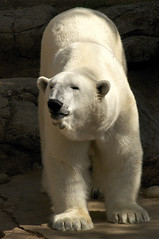 (ucumari photography) Tags: zoo nc north polarbear carolina april willie willy wilhelm ursusmaritimus oursblanc 2011 osopolar ourspolaire specanimal ucumariphotography dsc8831